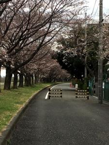 稲城側遊歩道の桜並木