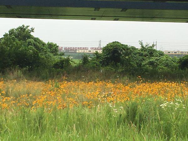 是政橋の下方に広がるハルシャギク。その先には電車や貨物列車が行きかう