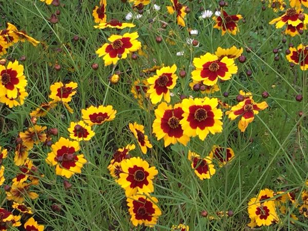 鮮やかなハルシャギクの花