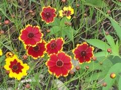 赤がメインの黄色い縁取りの花もある