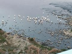 水辺にじっとしているコサギ達