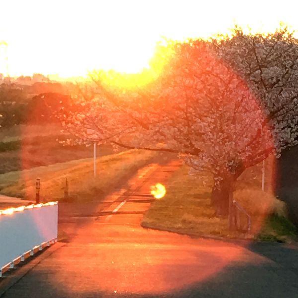 朝日を受けて桜花