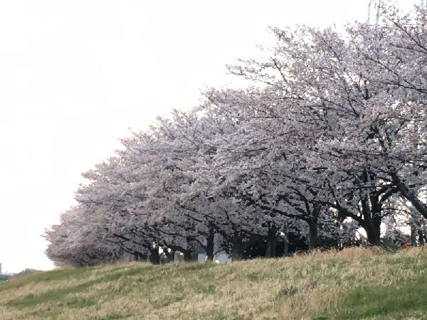 満開の桜並木