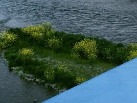 洲に咲く黄色の花 セイヨウアブラナ?セイヨウカラシナ?