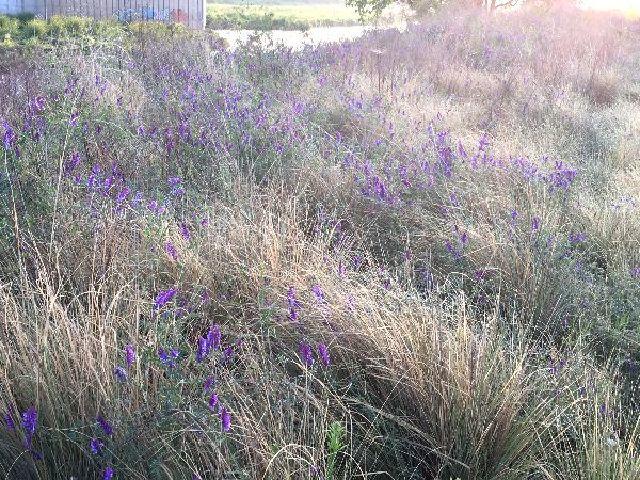 枯草の茂みに草藤の花が点在