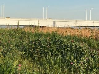 アカツメクサと是政橋 晴れ渡った空が清々しい