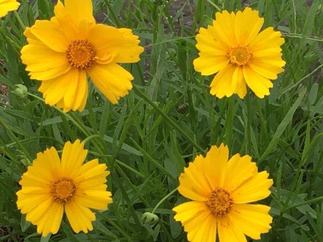 キンケイギクの花