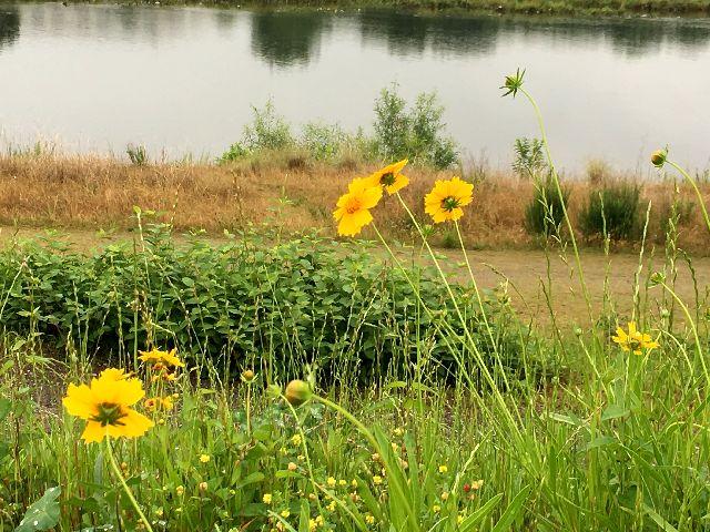 多摩川べりに咲くキンケイギク