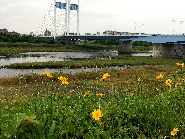 キンケイギクと是政橋