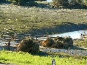 水路の橋の手すりに、根こそぎになった流木が引っかかっている