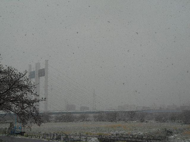 満開の桜の先に、降り注ぐ雪に霞む是政橋