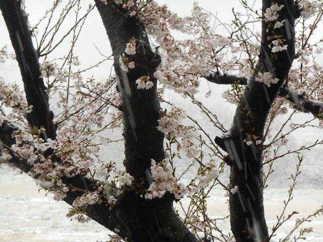 満開の桜に雪が舞う