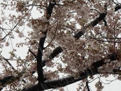 冷え冷えと雪に満開の桜は美しい