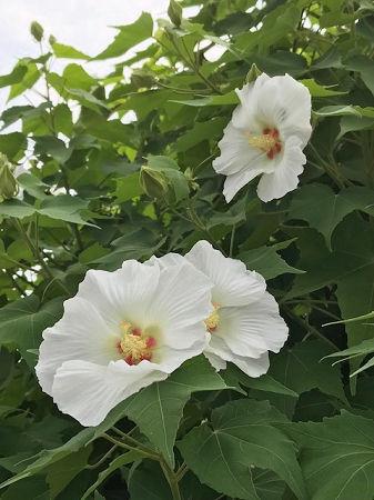四季芙蓉_夏に咲く花   四季の花と庭