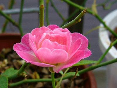 濃いピンクのピーチプリンセス