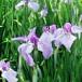 花菖蒲 薄紫