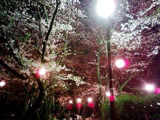 090407 千葉公園 夜桜1