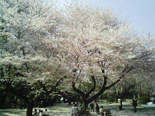 千葉公園090409満開