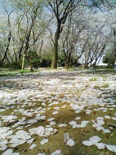 千葉公園090409桜絨毯