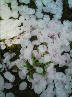 千葉公園090409花びら