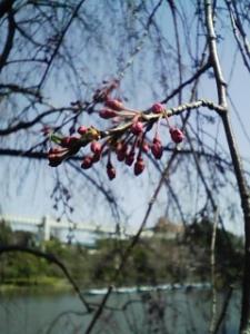 100330_しだれ桜