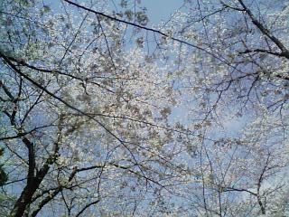 千葉公園_桜空