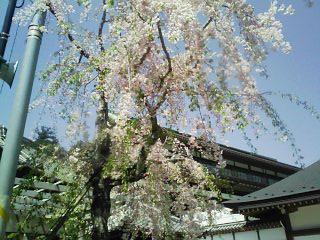 成田_しだれ桜