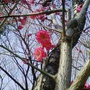 千葉公園梅花