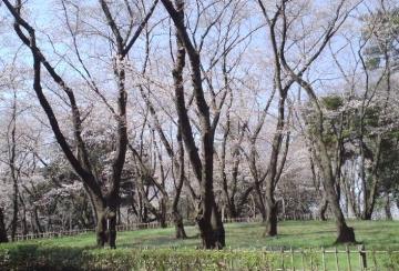 千葉公園桜1