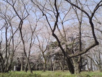 千葉公園桜2