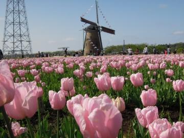風車ピンク