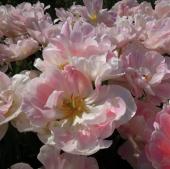 花ピンク八重