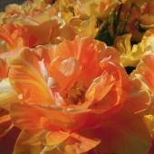花オレンジ八重