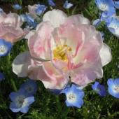 花ピンクと青