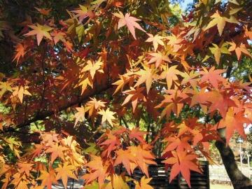 千葉公園紅葉4