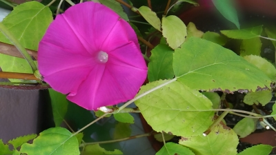 ピンクの朝顔の花