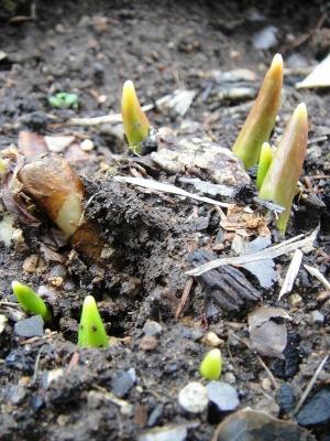 キバナカタクリの芽