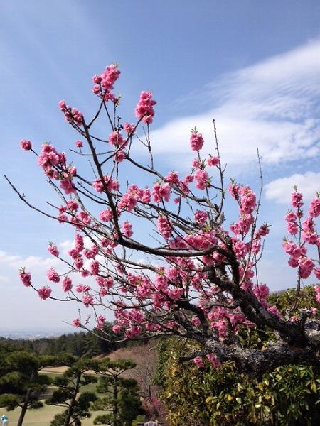 140329 桃の花.jpg