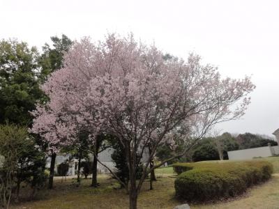 首都大学東京の桜
