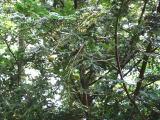 榧(カヤ)の樹