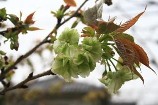 緑色の桜、御衣黄