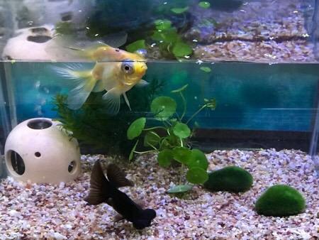 水槽 金魚 蝶尾 出目金 水草