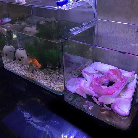 金魚 蝶尾 転覆病 背泳ぎ 給餌 金魚の死 埋葬