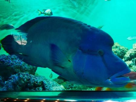 葛西臨海公園 葛西臨海水族園 水族館 熱帯魚 ナポレオンフィッシュ
