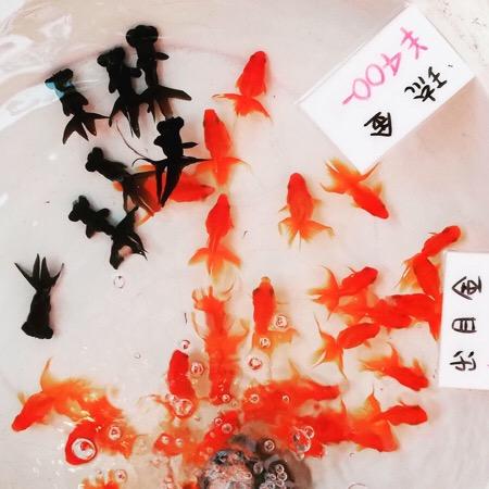 金魚 水槽 江戸川区 金魚まつり 金魚すくい