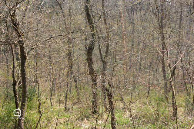 nalblog.com nalブログ。写真と旅と言葉たち 島根県飯南町赤名湿原4月の風景 まだまだこれから  ここから  ここから  雪は解け つぼみは膨らみ 桜咲く  芽吹く緑 色増す里山  足元の緑・白・黄色   まだまだこれから  ここから  ここから 島根県飯石郡にある飯南町は2005年、頓原町と赤来町が合併してできた町です。その旧赤来町の下赤名という場所に赤名湿原はあります。この湿原は環境省が選定した「日本の重要湿地500」にも選ばれているそうです。(環境省ホームページ)規模はそれほど大きくはありませんが、ここには寒冷地や湿地の様々な植物や生物が生息しています。4月にはミツガシワという花が、6月中旬から7月上旬にかけては「幻のトンボ」といわれるハッチョウトンボが見られるそうです。(島根県ホームページ)  赤名湿原までは、車出は広島市街地から高速で2時間弱、県道が早い場合もありますが、渋滞を考えると高速が便利です。交通機関を使う場合は、いったん三次駅まで行って、そこからバスで向かうことになります。余談ですが、ルート検索はGoogleマップの音声検索が結構使えます。検索画面横のマイクの絵をタップすると「お話しください」という文字と共にマイク画面が出てくるので、「〇〇駅から三次駅」や「赤名湿原の行き方」または目的地の住所を言ってください。そうすると、指定した駅や現在地から目的地までの行き方をカンタンに見つけることができます。  この2枚の写真は2013年4月中旬に撮影しました。この辺りは雪の深い地域でようやく桜が満開の頃でした。湿原の木々の葉っぱは開いておらずで、常緑樹だげが緑をしている風景でした。あと何週間もすればこの枝に緑の葉がついていくのかと想像するととてもワクワクするのでした。厳しい冬も終わり、まだ葉の芽吹いていない木々のもう「準備万端」という様に枝の隅々まで生命力であふれているといった感じを受けました。また訪れたい場所の一つです。7月の新緑の風景は、「島根飯南町赤名湿原 7月の風景」をご覧ください。「4月のハンノキ林」  写真:©2013 Yuko Yamada. All Rights Reserved. 撮影地:島根県飯石郡飯南町下赤名 赤名湿原(赤名湿地性植物群落) 使用カメラ:デジタル一眼レフカメラ Canon EOS Kiss X4 使用レンズ:EF-S 18-55mm f/3.5-5.6IS 焦点距離:34mm 露出設定:1/160秒 f/5.6ISO 100 三脚使用:なし 参考資料 環境省ホームページ:生物多様性の観点から重要度の高い湿地 島根県ホームページ:赤名(あかな)湿地の湿地性植物(飯南町) 島根ジオサイト:赤名湿原(あかなしつげん) Wikipedia:赤来町、頓原町 当ブログに掲載されている画像等の無断転載はご遠慮ください。