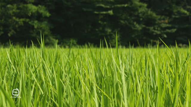 nalblog.com nalブログ。写真と旅と言葉たち  島根県飯南町赤名湿原 7月の風景 みどり  しろ  きいろ  林の中  水の世界 島根県飯石郡にある飯南(いいなん)町は2005年、頓原町と赤来町が合併してできた町です。その旧赤来町の下赤名というところに赤名湿原はあります。この湿原は環境省が選定した「日本の重要湿地500」にも選ばれているそうです。(環境省ホームページ)規模はそれほど大きくはありませんが、ここには寒冷地や湿地帯特有の様々な植物や生物が生息しています。4月にはミツガシワという花が、6月中旬から7月上旬にかけては「幻のトンボ」といわれるハッチョウトンボが見られるそうです。(島根県ホームページ)  初めてこの赤名湿原に来たのは2013年4月14日のことでした。それから3ヶ月後、湿地性植物が見頃になったというので再び訪れることにしました。初夏の日差しも湿地の森に入ると和らいで空気もひんやりとしたのを感じました。4月の力強くも殺風景な長尾池とは対照的にの水面には様々な植物が顔を出していて、葉っぱのなかったあの大きな木にはモッサリと葉っぱが茂り、池のほとりのウッドデッキが隠れる程でした。特に印象的だったのは、柔らかい緑色をしたハンノキ林とその周辺の草花の色です。遊歩道を歩いてしばらくは太陽が隠れていて気付きませんでしたが、日が照ったとたんに太陽の光をすーぅっと吸い込んだように柔らかく輝いてコチラの目を惹き付けてくれました。湿原を抜けると初夏の鮮やかな若々しい緑の稲と青空が広がっていました。また訪れたい場所の一つです。赤名湿原4月の様子は「島根飯南町赤名湿原 4月の風景」をご覧ください。「7月の稲」  写真:©2013 Yuko Yamada. All Rights Reserved. 撮影地:島根県飯石郡飯南町下赤名 使用カメラ:デジタル一眼レフカメラ Canon EOS Kiss X4 使用レンズ:EF-S 18-55mm f/3.5-5.6IS 焦点距離:55mm 露出設定:1/200秒 f/8.0ISO 200 三脚使用:なし 参考資料 環境省ホームページ:生物多様性の観点から重要度の高い湿地 島根県ホームページ:赤名(あかな)湿地の湿地性植物(飯南町) 島根ジオサイト:赤名湿原(あかなしつげん) Wikipedia:赤来町、頓原町 当ブログに掲載されている画像等の無断転載はご遠慮ください。