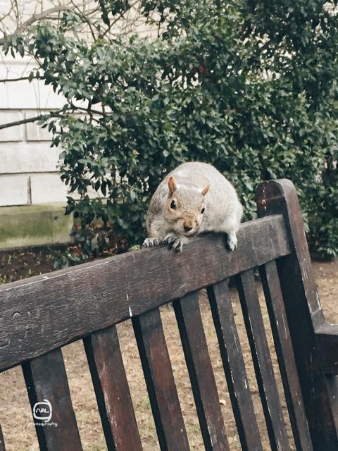 nalblog.com nalブログ。写真と旅と言葉たち ロンドンのリスは好奇心旺盛! ロンドンで初めてリスを見たのは、ハイドパークを歩いている時でした。遠くでぴょこぴょこと木と木の間をいたり来たりしている小さな何かがリスでした。しっぽがフサフサで全体的にまるっとしていて、前に進むたびにしっぽがふわんふわんと動くのがかわいらしいです。野生動物なので近づけば逃げていきますが、中には好奇心旺盛なリスもいるようです。 少し警戒しながらも、コチラの様子を伺って興味津々なリスや、チョコを食べている人の近くに寄っていっておねだりするリス。自然の中に街があるとこんな交流もあるんだなとなんだかほっこりしました。「ためらいと好奇心の狭間で」  写真:©2016 Yuko Yamada. All Rights Reserved. 撮影地:英国ロンドン 使用カメラ:スマートホンiPhone6 背面カメラ カメラアプリ:カメラ 三脚使用:なし 当ブログに掲載されている画像等の無断転載はご遠慮ください。