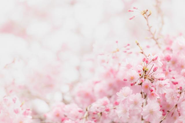 nalblog.com nalブログ。写真と旅と言葉たち 桜の季節、若葉出る頃。 桜の季節到来、冷え込む朝も少なくなり、北東にある窓からも朝日が差し込む清々しい朝が多くなってきました。   桜といっても、種類によっては咲く時期が違い、桜前線という言葉があるように日本列島各地で3月〜5月と桜の時期は地方によって異なります。南から北まで2ヶ月に渡って春の到来を楽しめるのは日本のいいところだなぁと思います。西日本関東で桜の季節が終わっても、東北や北海道では桜の季節は5月頃だそうです。   今年の春は広島の桜名所を3ヶ所訪れました。宮島は例年より開花が遅く、4月3日に訪れた時はまだ咲き始めで満開の桜を楽しむことはできませんでした。ですが、馬酔木(あせび)の花が満開で、白とピンクの花々が枝垂れるように咲き乱れていてとてもきれいでした。後で地図を見てみると、島の東の方に「アセビ歩道」と呼ばれる道があるようで、あのアセビが咲き乱れる歩道を想像してみるととてもワクワクしました。来年、ぜひ訪れたいと思います。春の楽しみが一つ増えました。   ここ数年で花や植物に興味を持つようになってから、季節の感じ方も変わってきたような気がします。細かい変化を感じるようになり、それが楽しく感じられるようになってきました。春に咲く花の順番を知っていると春の楽しみ方が増えておもしろいですね。桜が終われば若葉が芽吹き、新緑の眩しい季節になります。みずみずしい新鮮な色たちは心を踊らせてくれます。楽しみですね。「八重紅枝垂(やえべにしだれ)」  写真:©2017Yuko Yamada. All Rights Reserved. 撮影地:広島県広島市安佐南区 使用カメラ:Canon EOS 80D 使用レンズ:EF-S 18-135mm f/3.5-5.6 IS USM アクセサリ:ケンコーPLフィルター 露出設定:1/200秒 f/5.6 ISO 500 三脚使用:なし