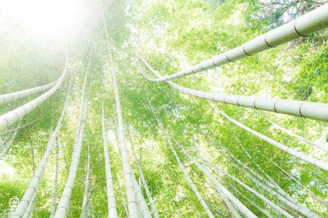 nalblog.com nalブログ。写真と旅と言葉たち 青竹の下で - 初夏の光に包まれて 照らす光  伸びる青  高く  高く    「Excelsior」  写真:©2017 Yuko Yamada. All Rights Reserved. 撮影地:広島県広島市安佐南区 カメラボディ:Canon EOS 80D レンズ:EF-S 24mm f/2.8 STM 三脚:Manfrotto befree  ※当ブログに掲載されている画像等の無断転載はご遠慮ください。